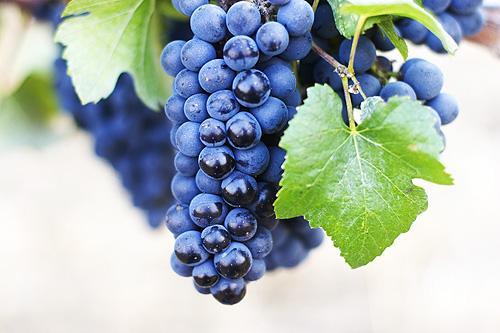 Dark Blue Pinot Noir Grapes